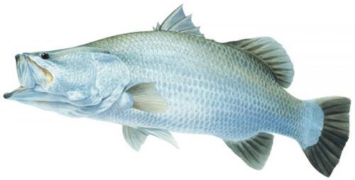 FishingEarth-Barramundi-