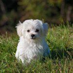 犬マルチーズ マルタ 絶景 小型犬 マルタ語 子犬 かわいい 自然