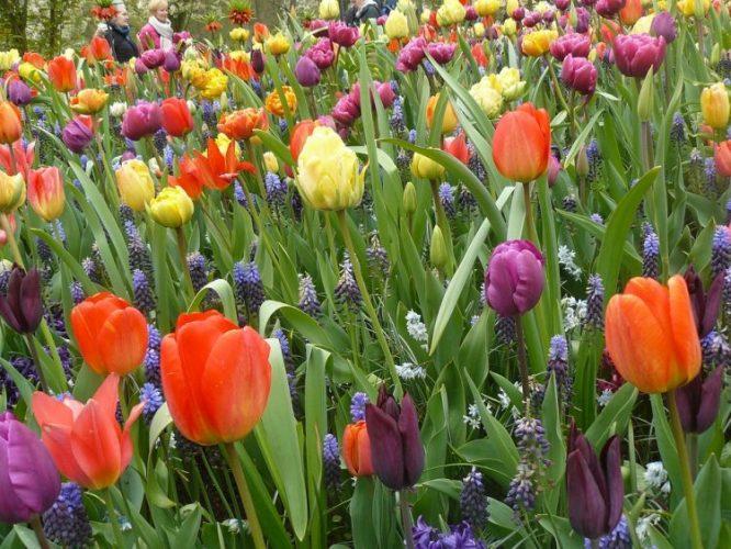 チューリップ、ヒヤシンス、いろんなお花